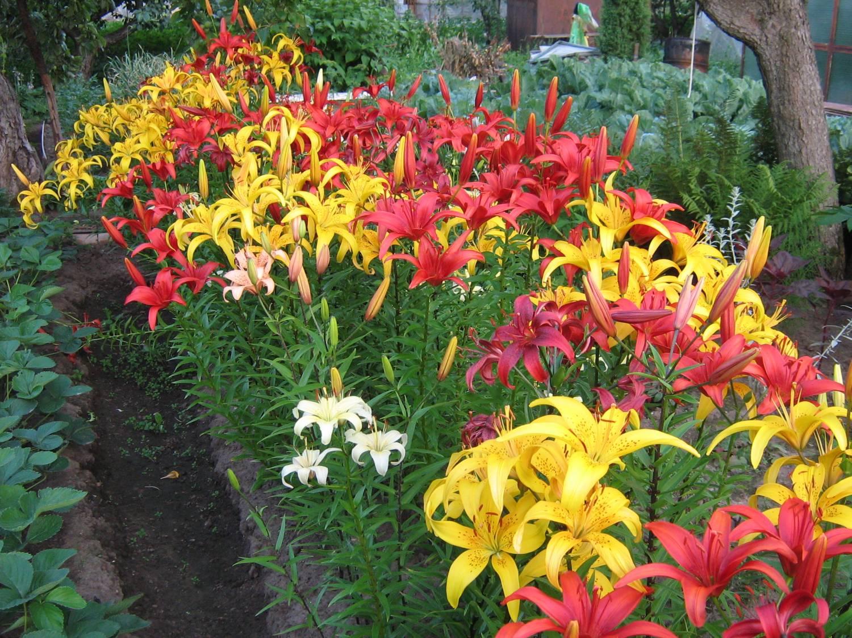 Лилии цветы посадка и уход